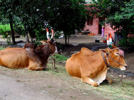 Cows - pride of India